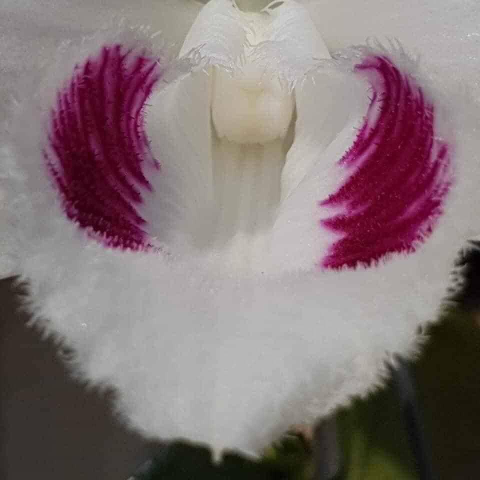 Cận cảnh vẻ đẹp của loài hoa lan đột biến