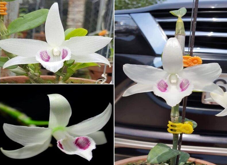 Mặt hoa 5 cánh trắng Bảo Duy